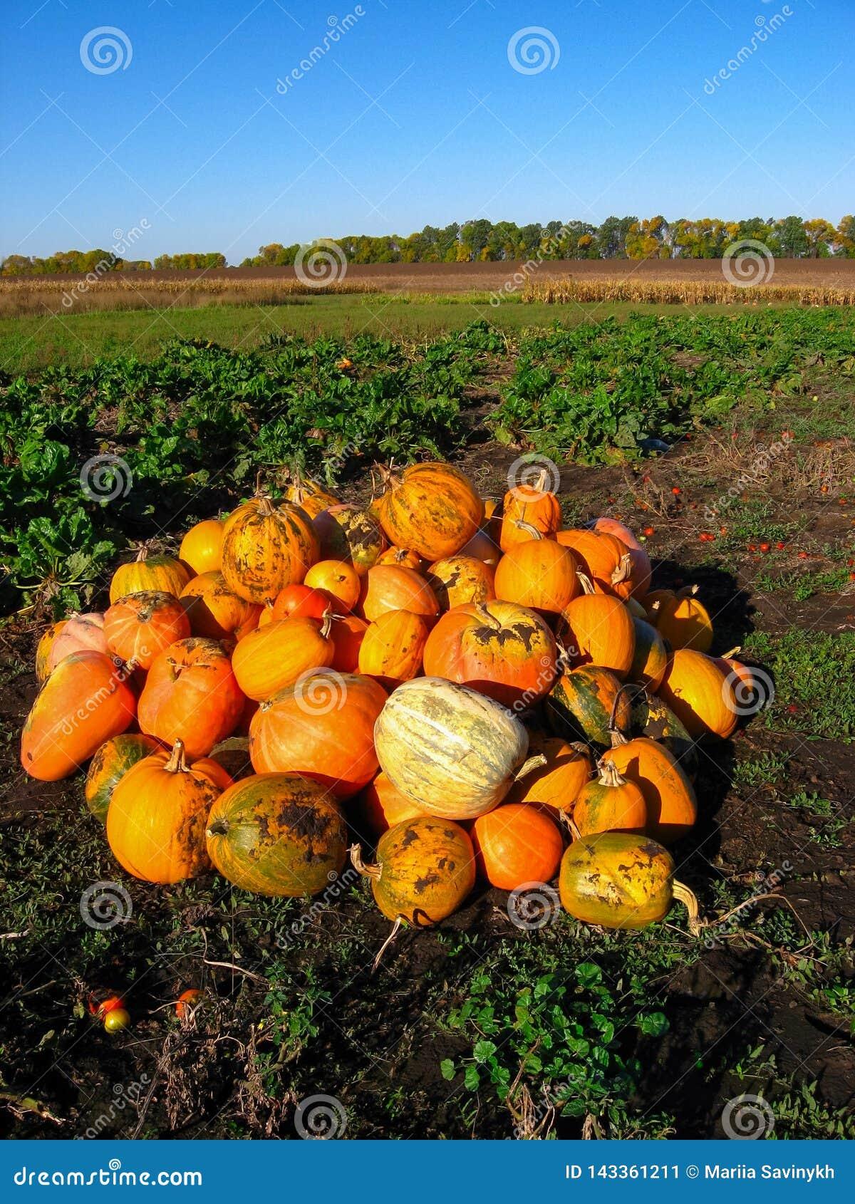 Wiązka pomarańczowego koloru żółtego banie na zielonej trawy polu Jesieni żniwo w gorącym słonecznym dniu Halloweenowy kartka z p
