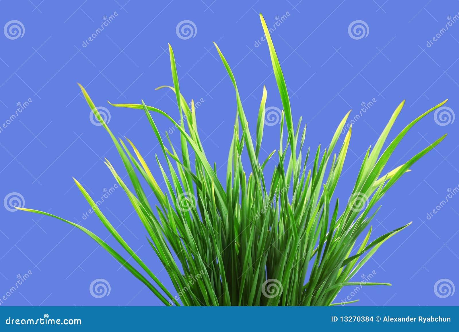 Wiązki trawy zieleń