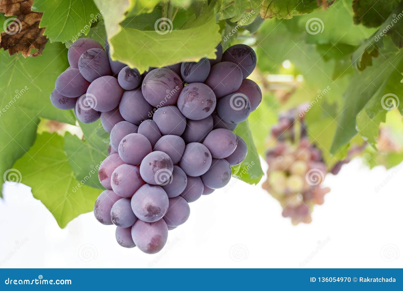 Wiązki winogrona