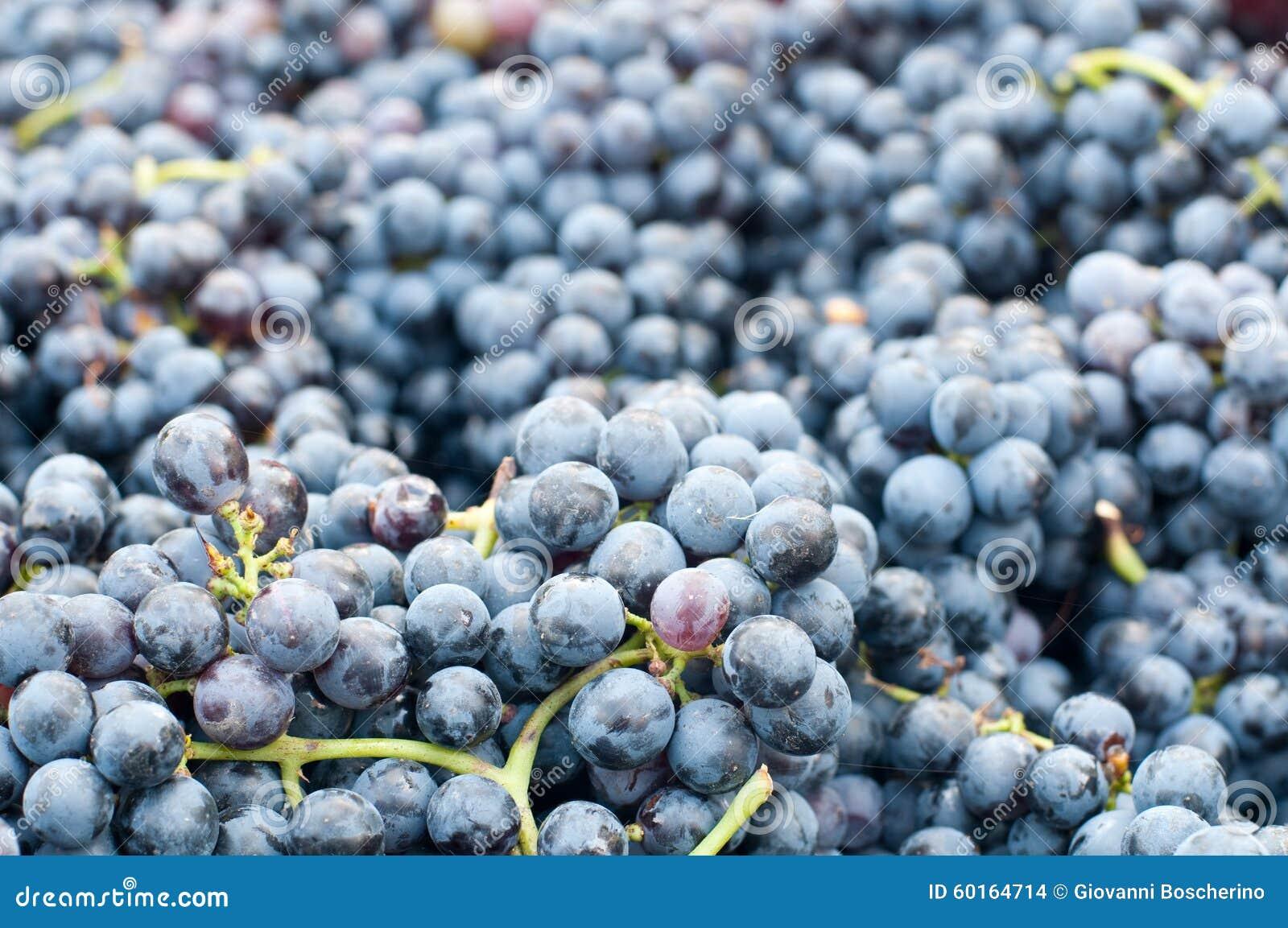 Wiązki winogrona Lambrusco, typowy Włoski winogrono