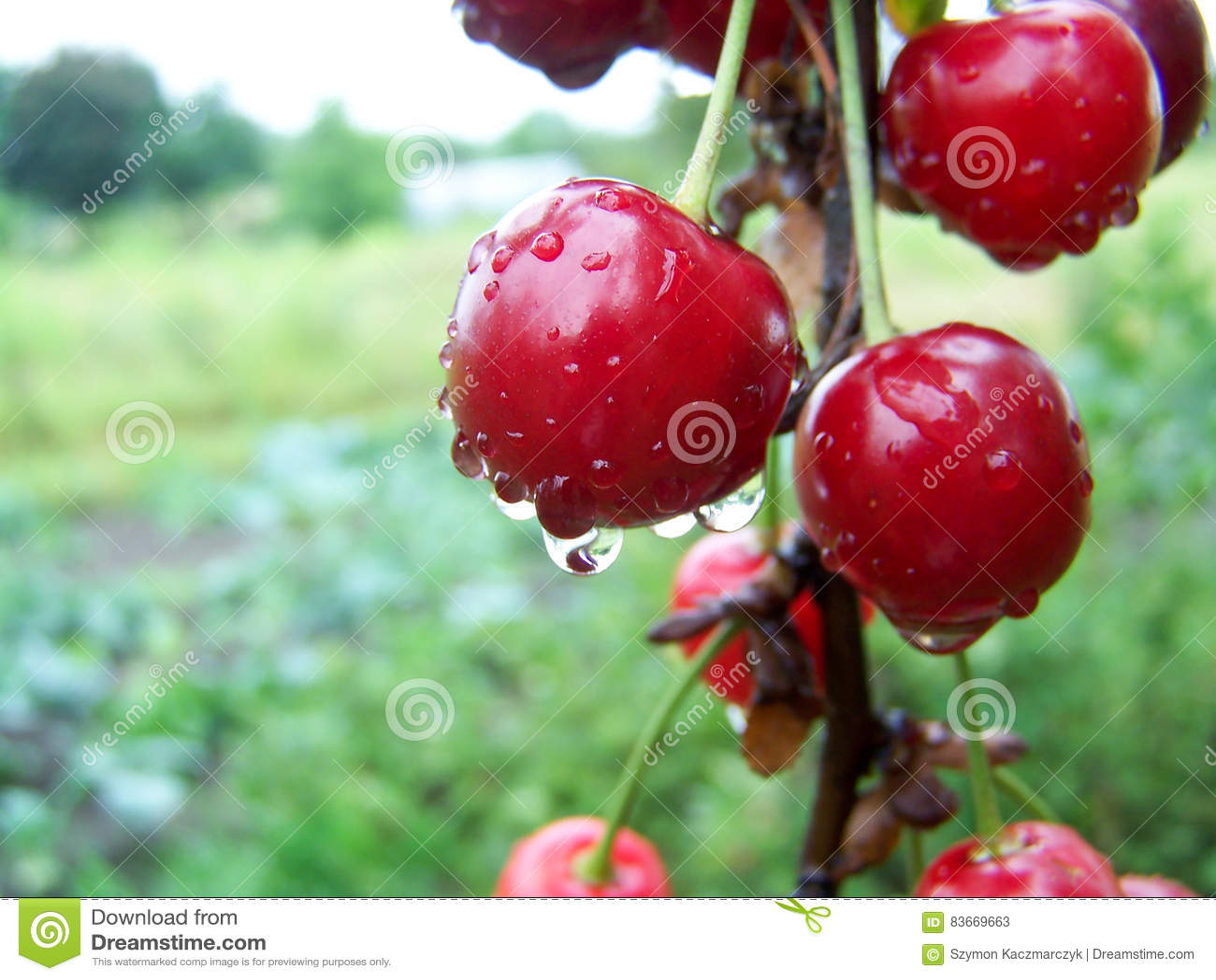 Wiśnie i czereśnie świeże Czereśniowy drzewo wiśnie