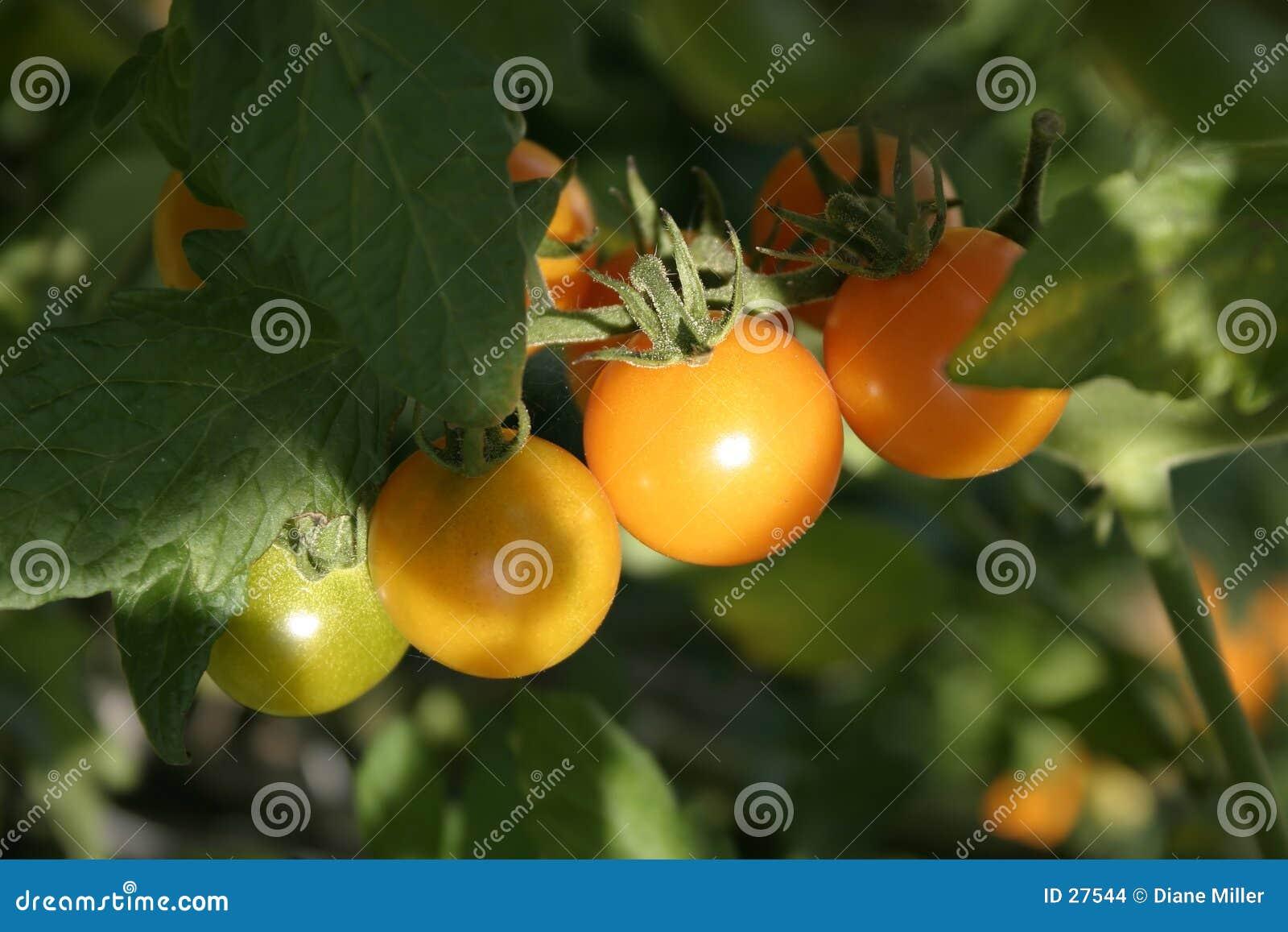 Wiśnie pomidorów