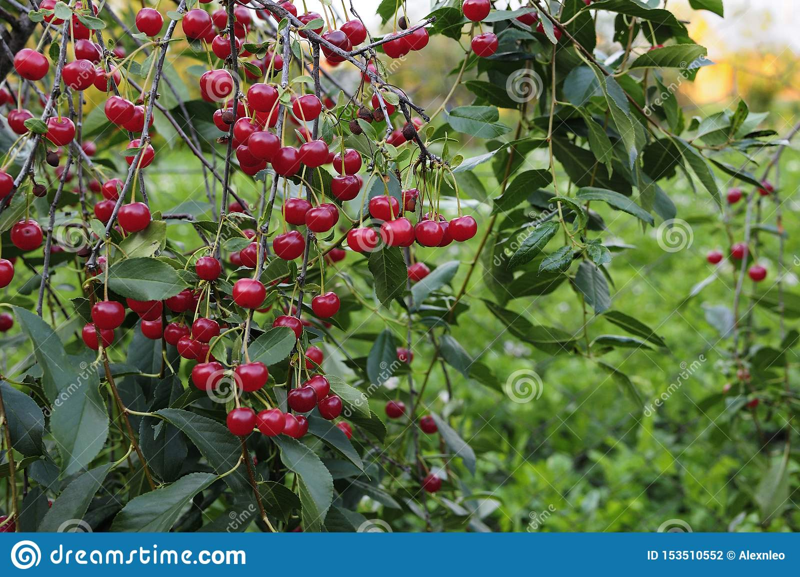 Wiśnie wiesza na czereśniowej gałąź Czerwone organicznie wiśnie na gałąź czereśniowy drzewo, makro-, dojrzałe wiśnie na gałąź,