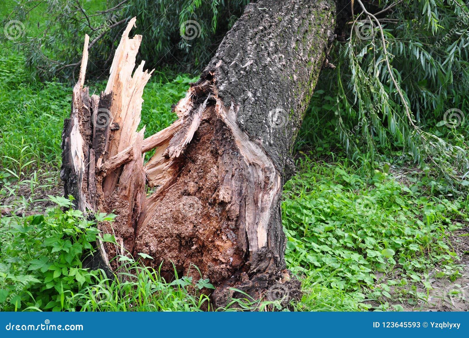 Wiatr dmuchał dużego drzewa