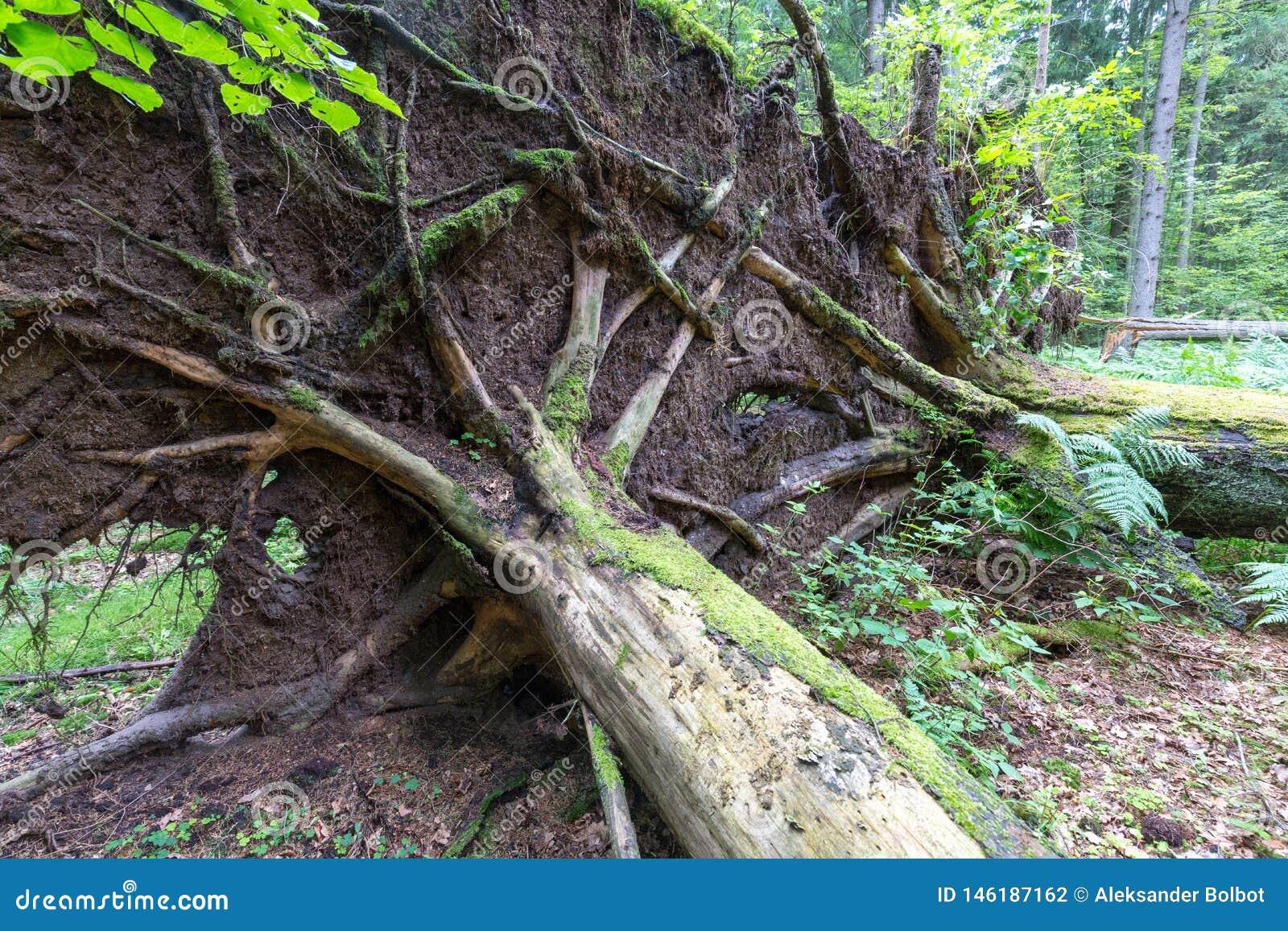 Wiatrowy spadek nad ogromnym ?wierkowym drzewem w lecie
