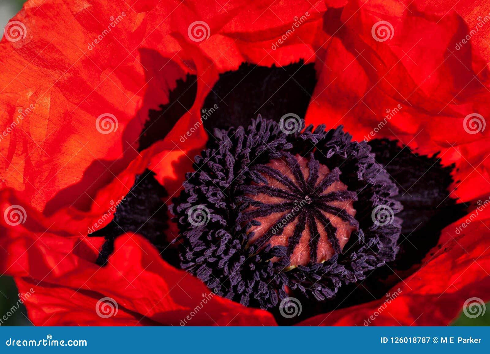 Wibrujący pomarańczowy orientalnego maczka kwiat