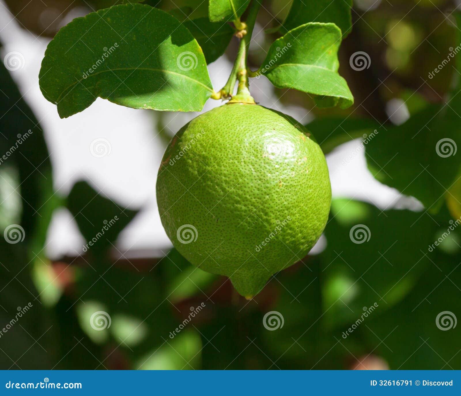 Wibrujący zielony cytryny obwieszenie na drzewie