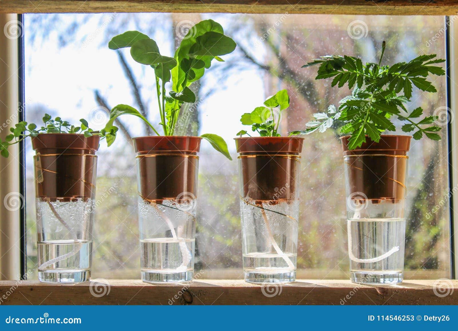 Wick watering. Plants in pots on glasses stand on a shelf on a window.