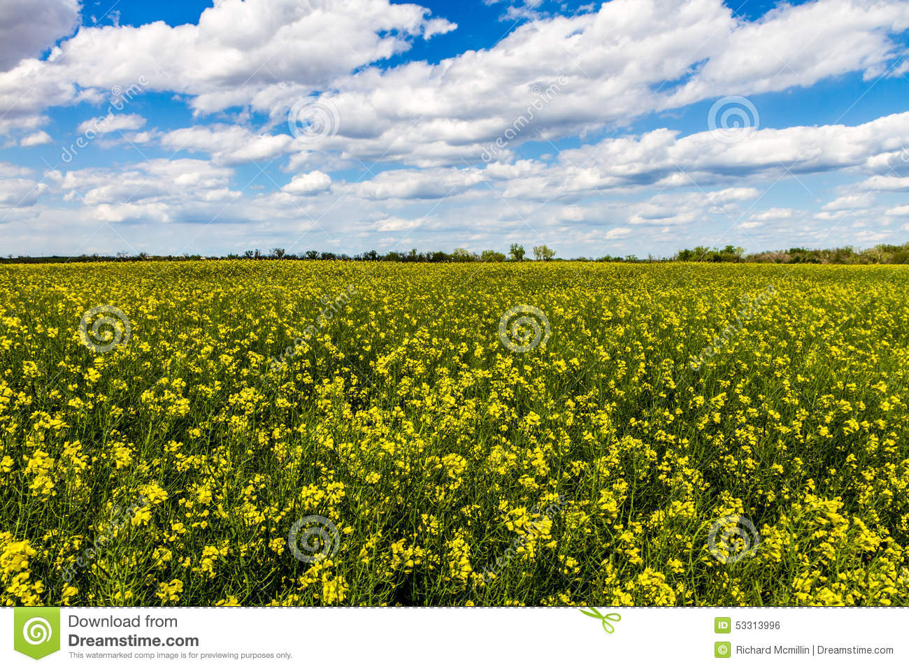 Wide angle shot of a field of bright yellow flowering canola download wide angle shot of a field of bright yellow flowering canola rapeseed plants mightylinksfo