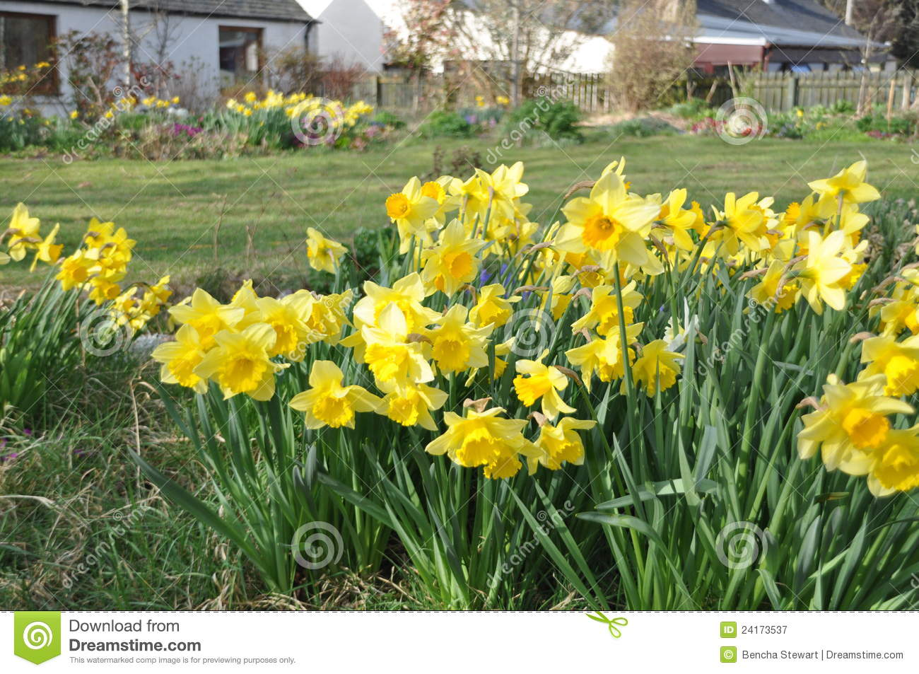 A Widely Grown Daffodil In The Garden Royalty Free Stock