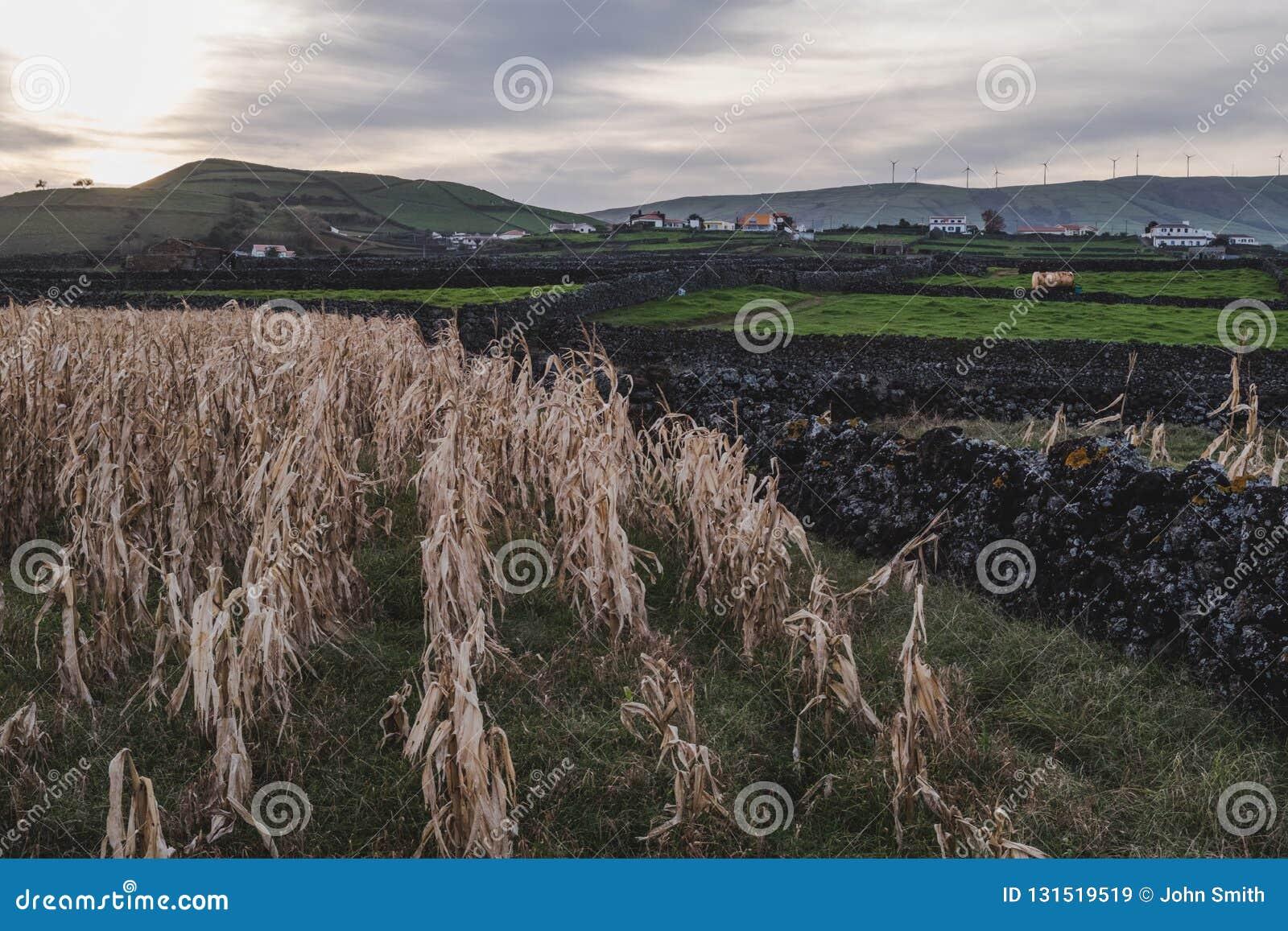 Widok kukurudzy i zwierzęcia pola na Terceira wyspie