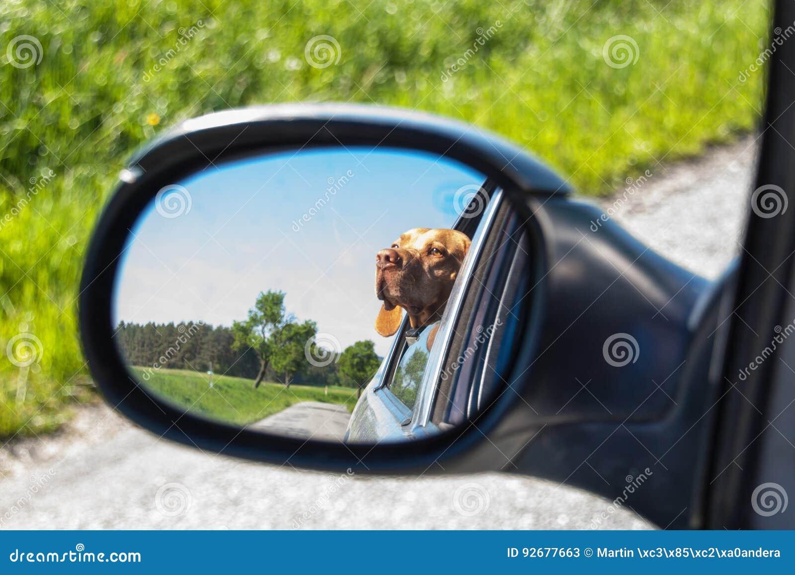 Widok pies w rearview lustrze samochód Psi przyglądający out samochodowy okno Węgierski pointer Vizsla