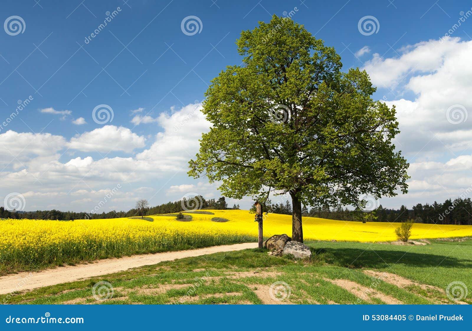 Widok sposób między rapeseed polem i wapna drzewem