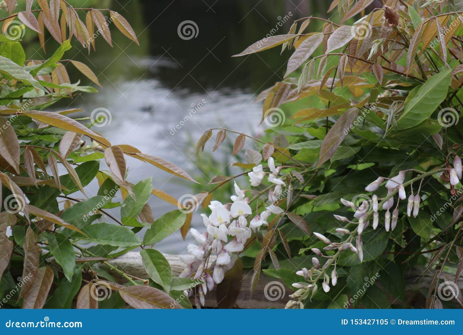 Widok staw przez krzaka kwiatonośna Biała żałość