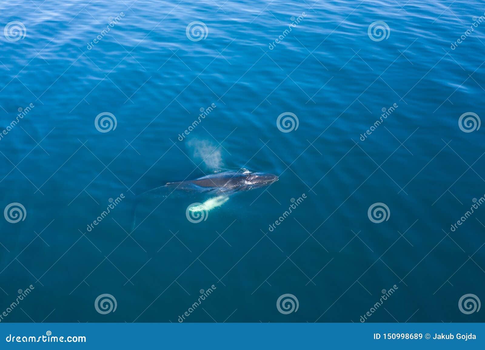 Widok z lotu ptaka Humpback wieloryb, Iceland
