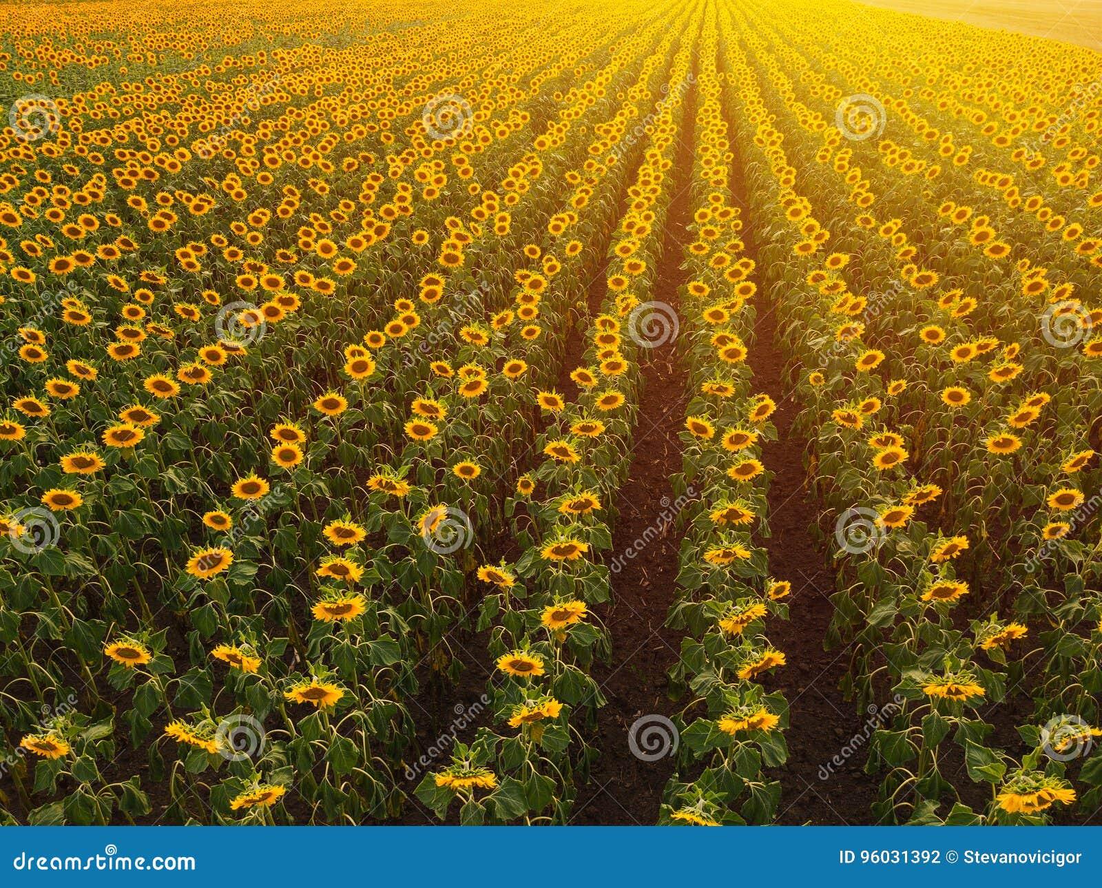Widok z lotu ptaka słonecznika pole w lato zmierzchu