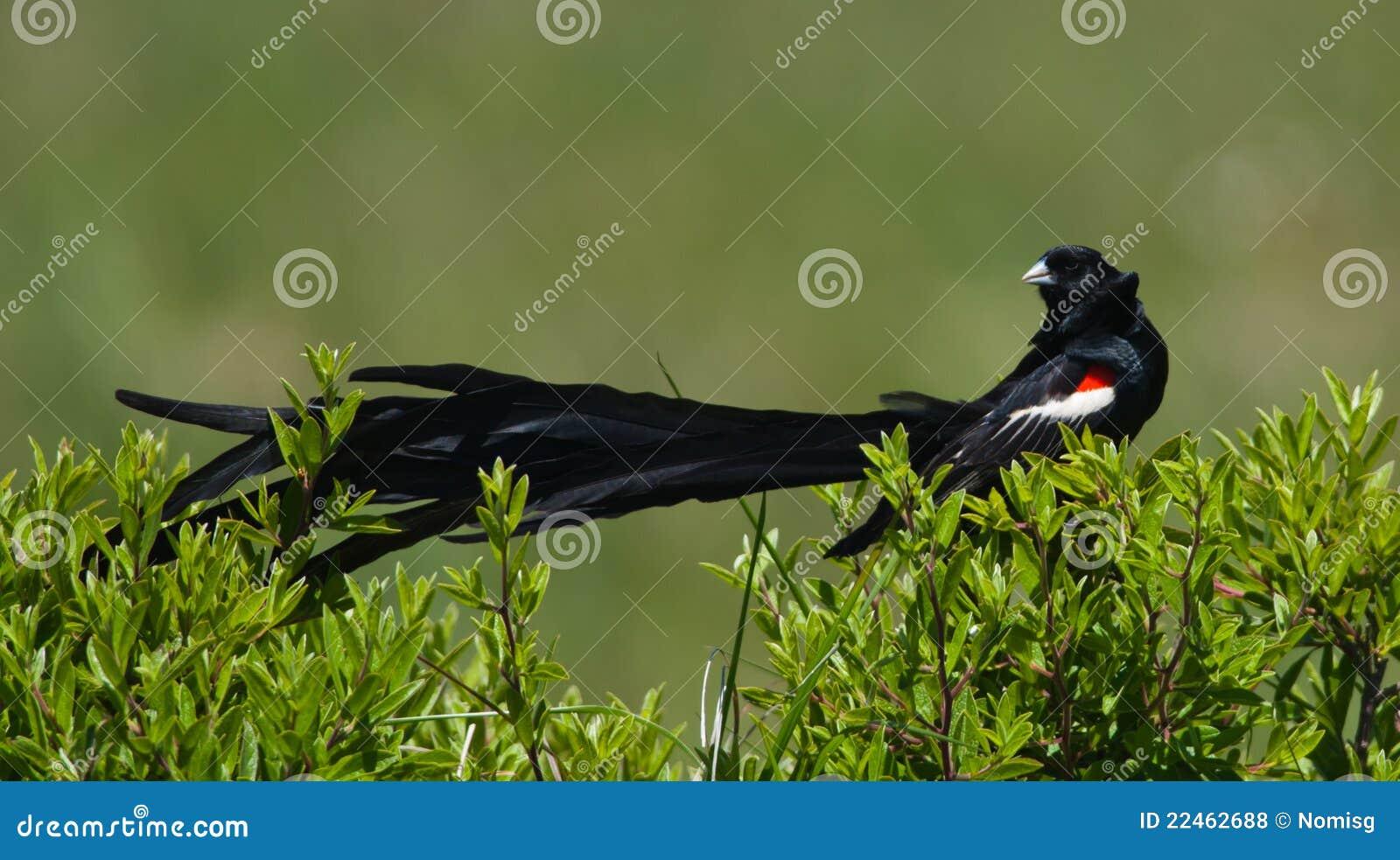 Widowbird Long-tailed affichant hors fonction l arrière