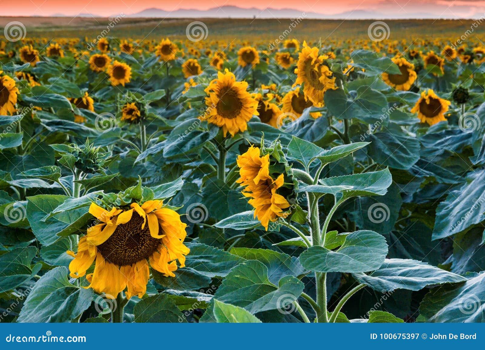 Wieczór Z słonecznikami