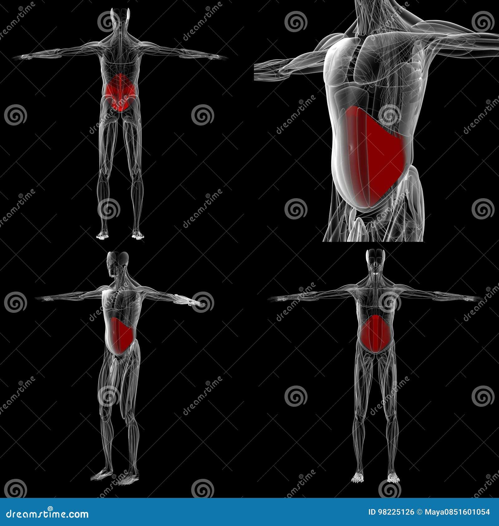 Wiedergabe 3d Bauchmuskel-Anatomie Stockfoto - Bild von iliac ...