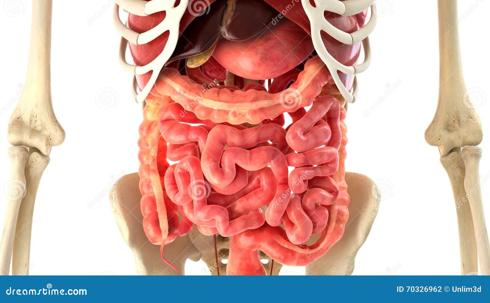 Hervorragend Menschlicher Körper Organe groß Und Dünndarm Stock Abbildung OA33