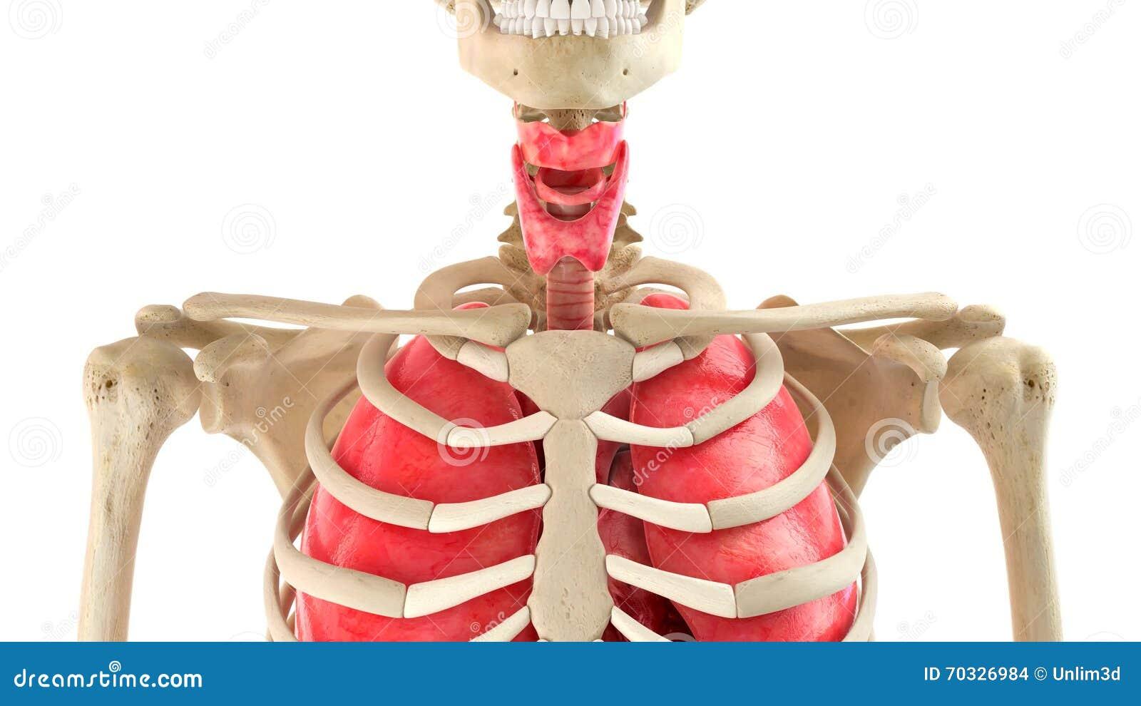 Erfreut Organe Bild Zeitgenössisch - Anatomie Und Physiologie ...