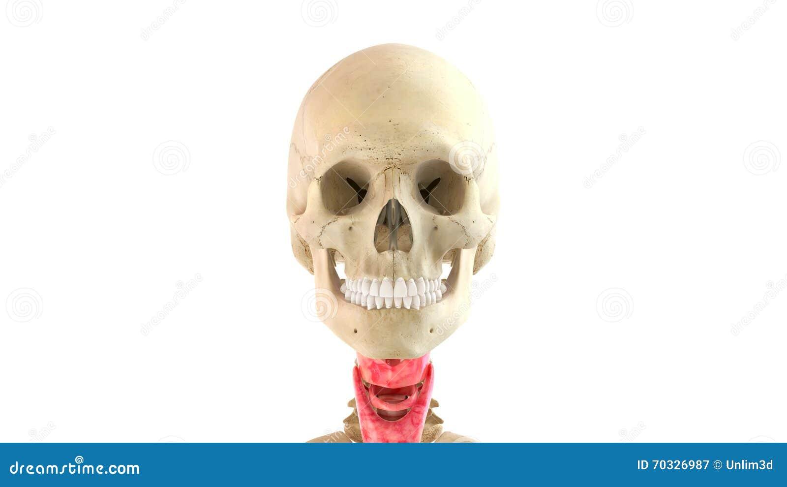 Wiedergabe Des Menschlichen Körpers Und Der Inneren Organe 3d Stock ...