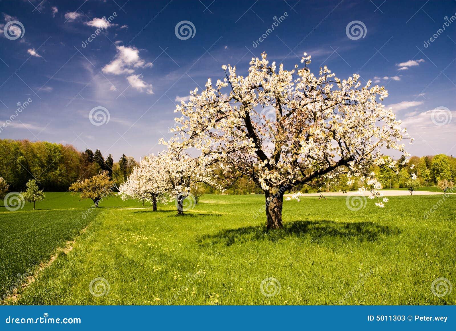 Wszystkie nowe Wiejskie Widoki Zakwitnąć Wiosenne Drzewa Obraz Stock - Obraz LW52