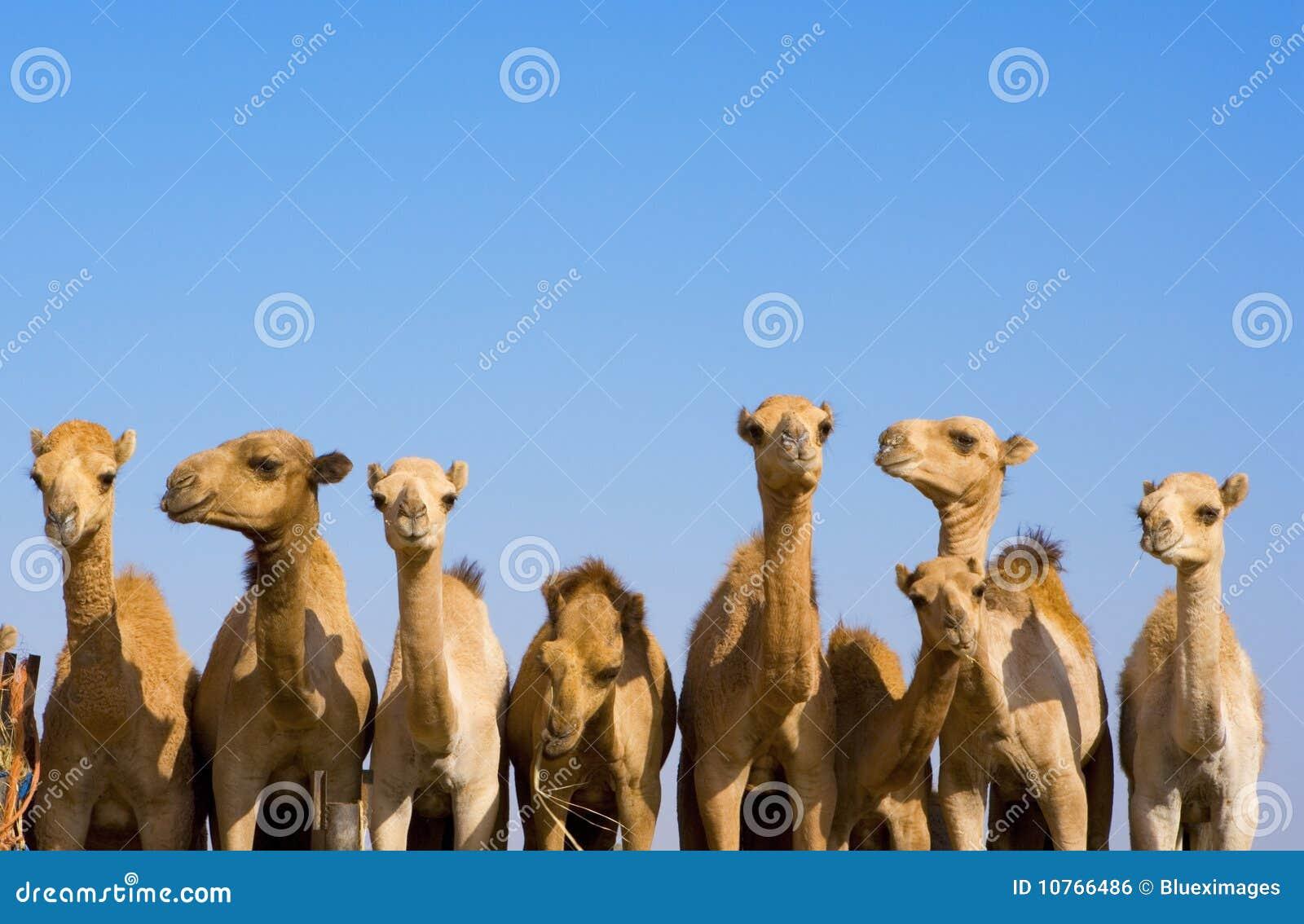 Wielbłądów emiraty