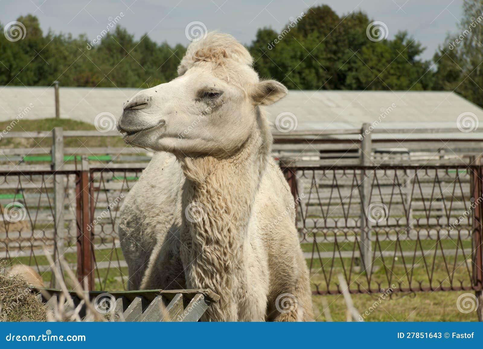 Wielbłąd żuć siano