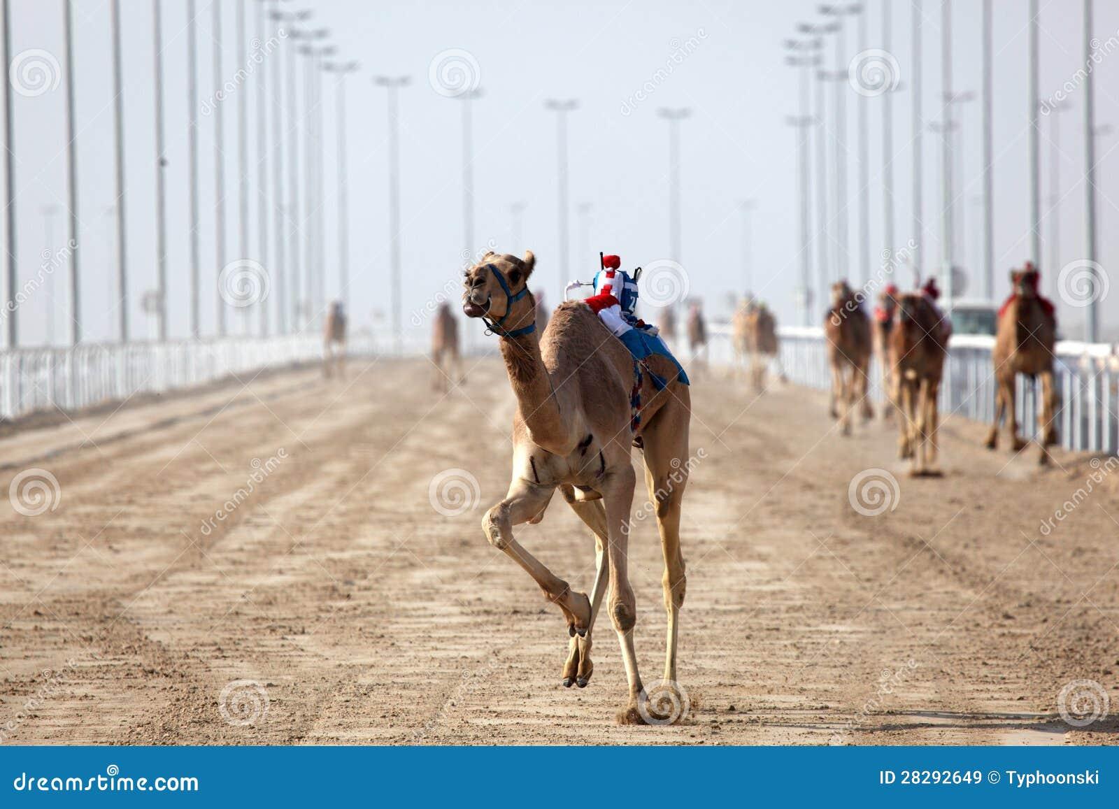 Wielbłąd rasa w Doha, Katar