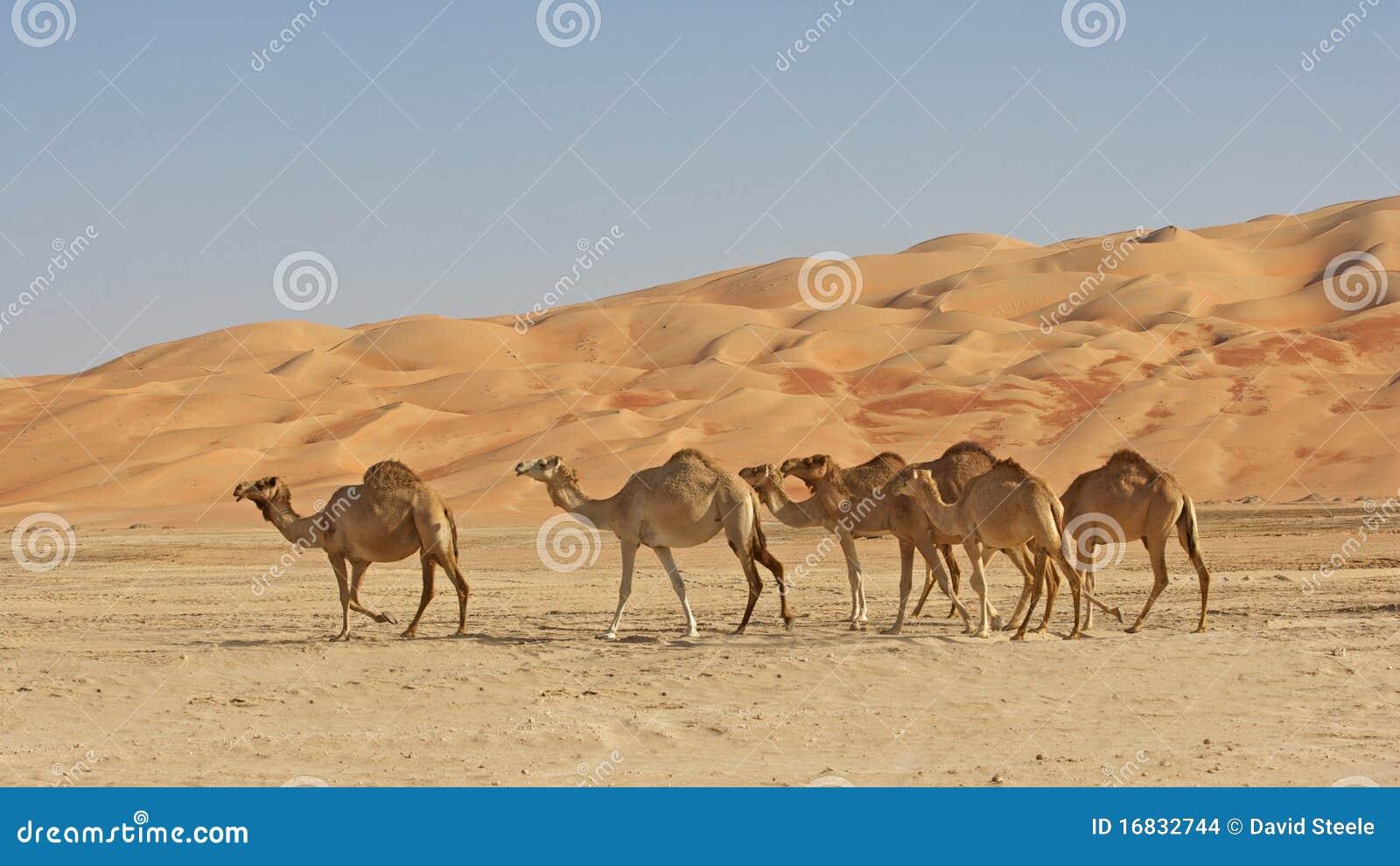 Wielbłądy opróżniają ćwiartkę