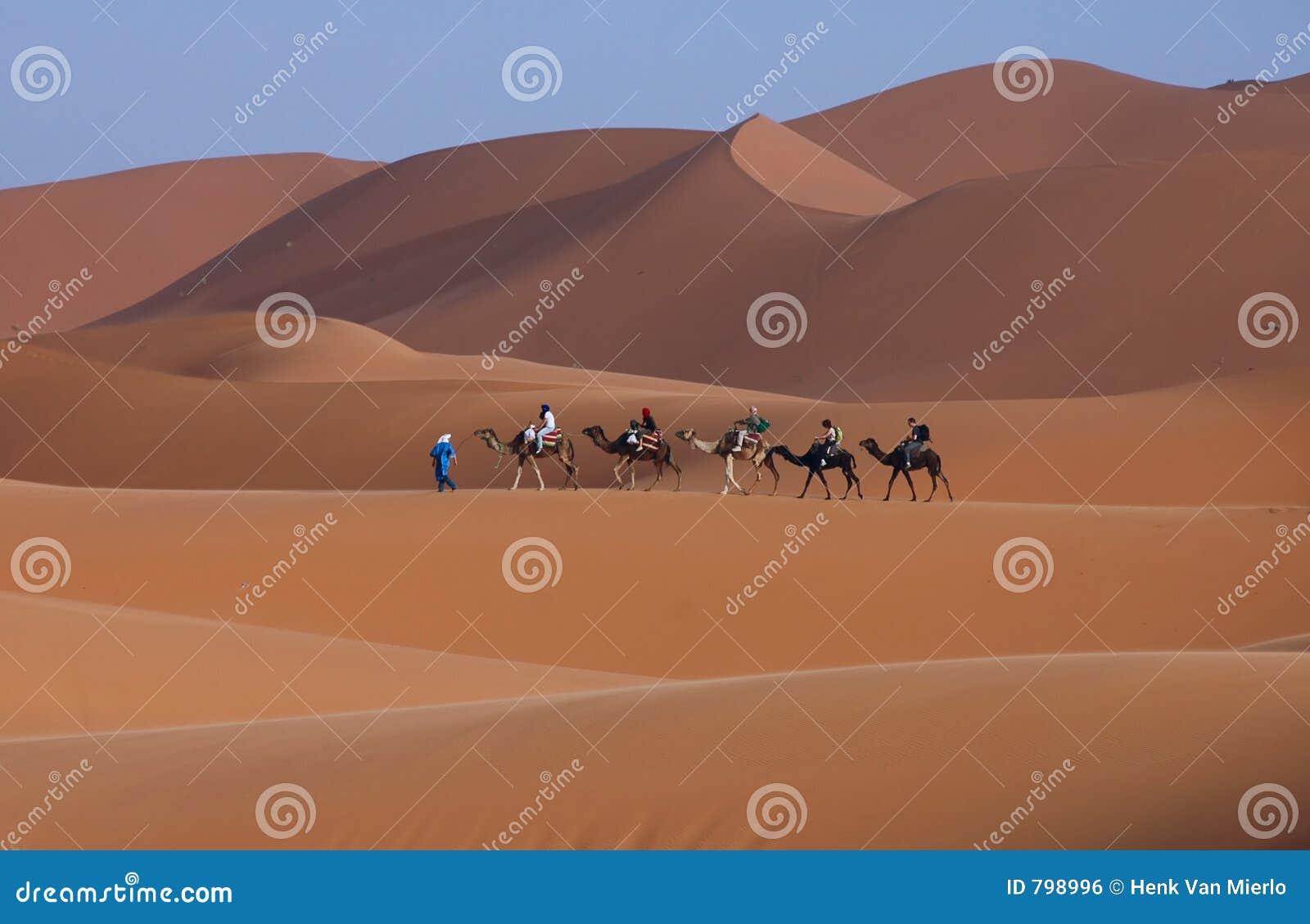 Wielbłądy Sahara