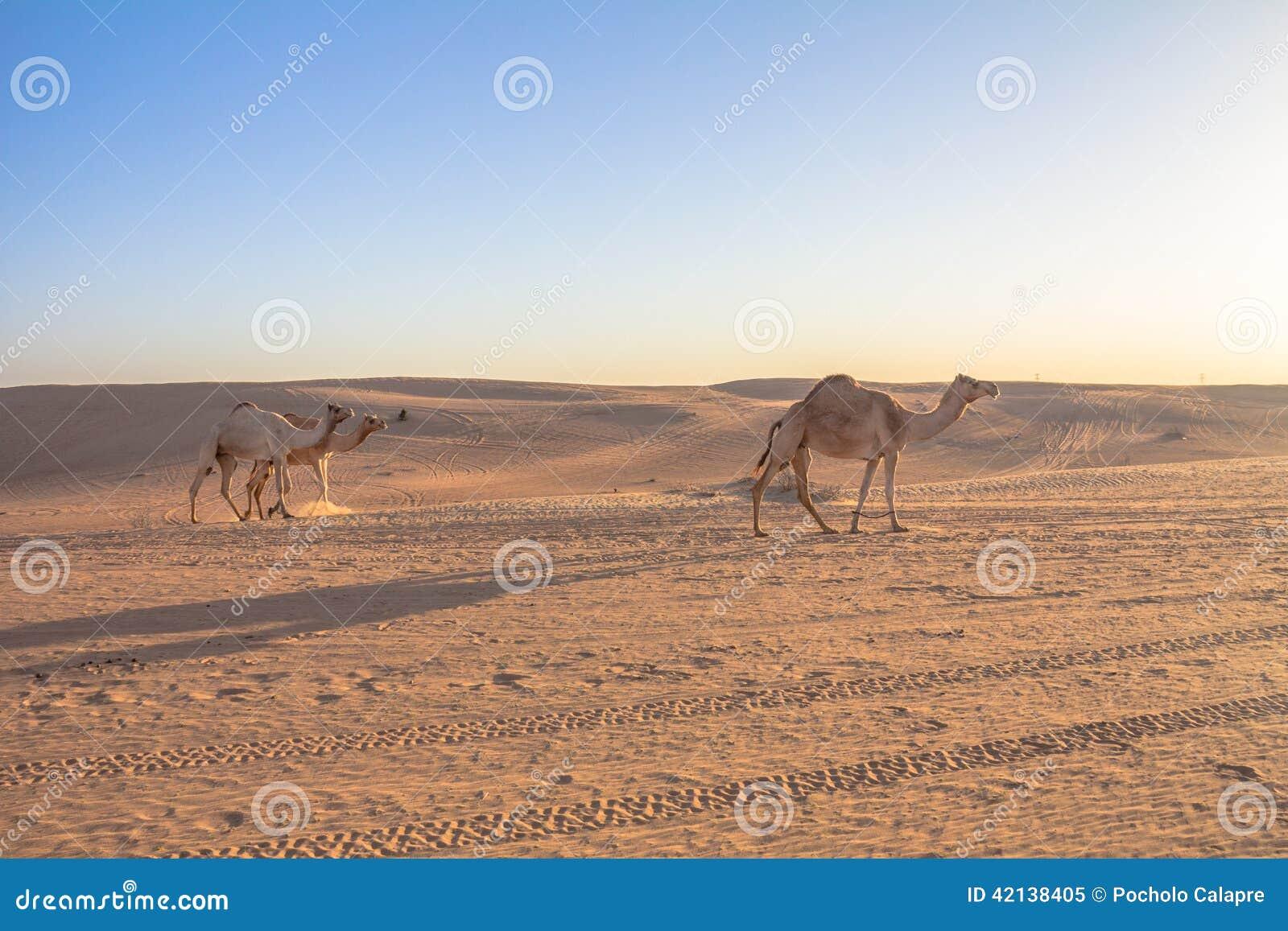 Wielbłądy w Dubaj UEA