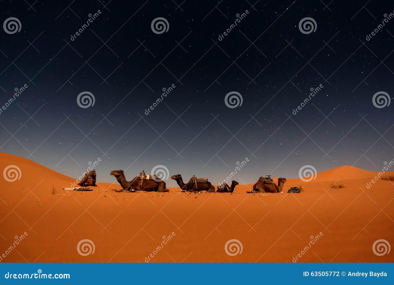 Wielbłądy w Merzouga diunach