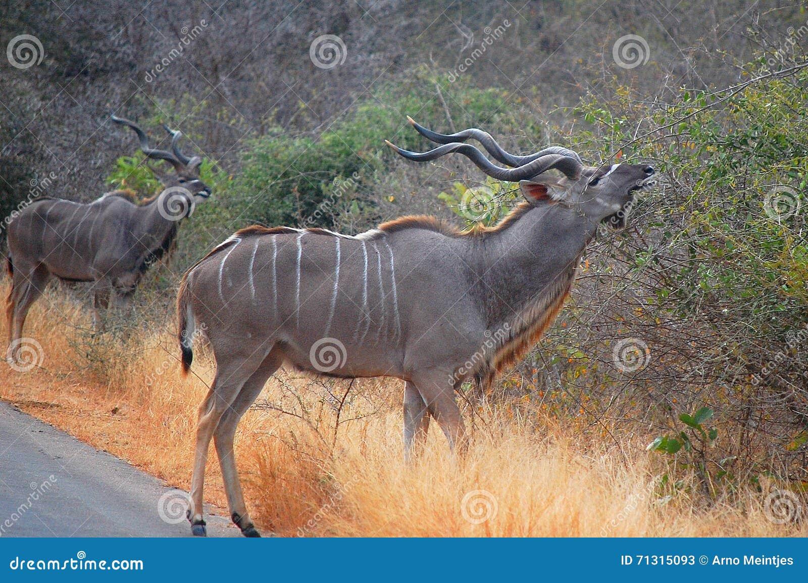 Wielcy kudu (Tragelaphus strepsiceros)