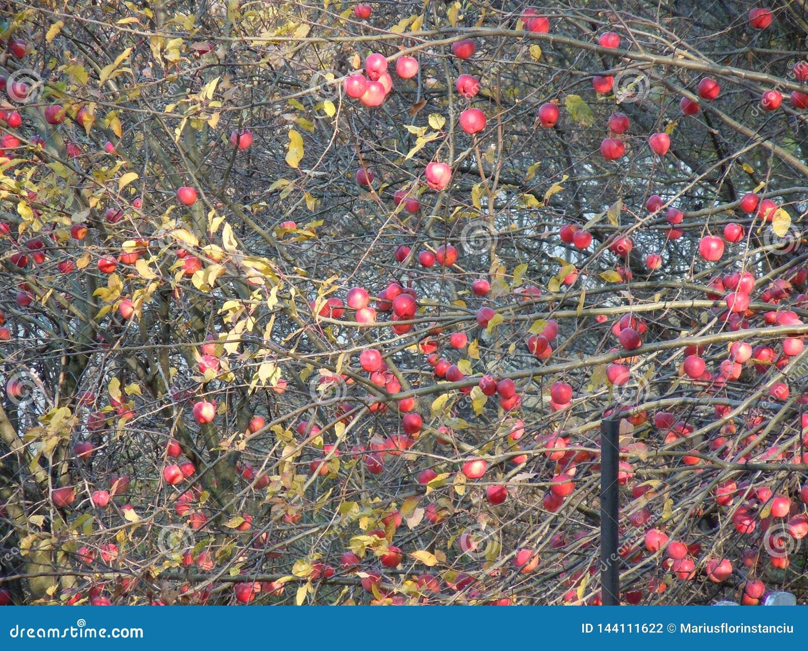Wiele czerwoni jabłka, few liście w drzewie