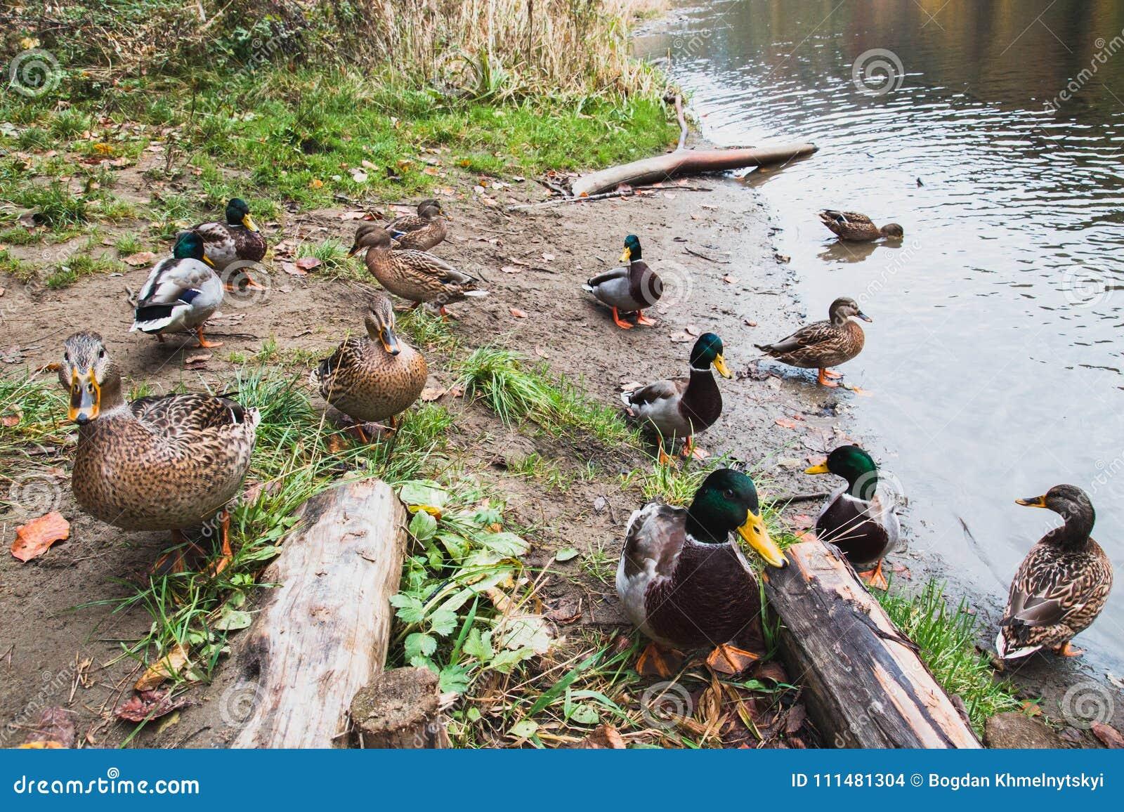 Wiele dzikich kaczek spacer na jeziornym brzeg