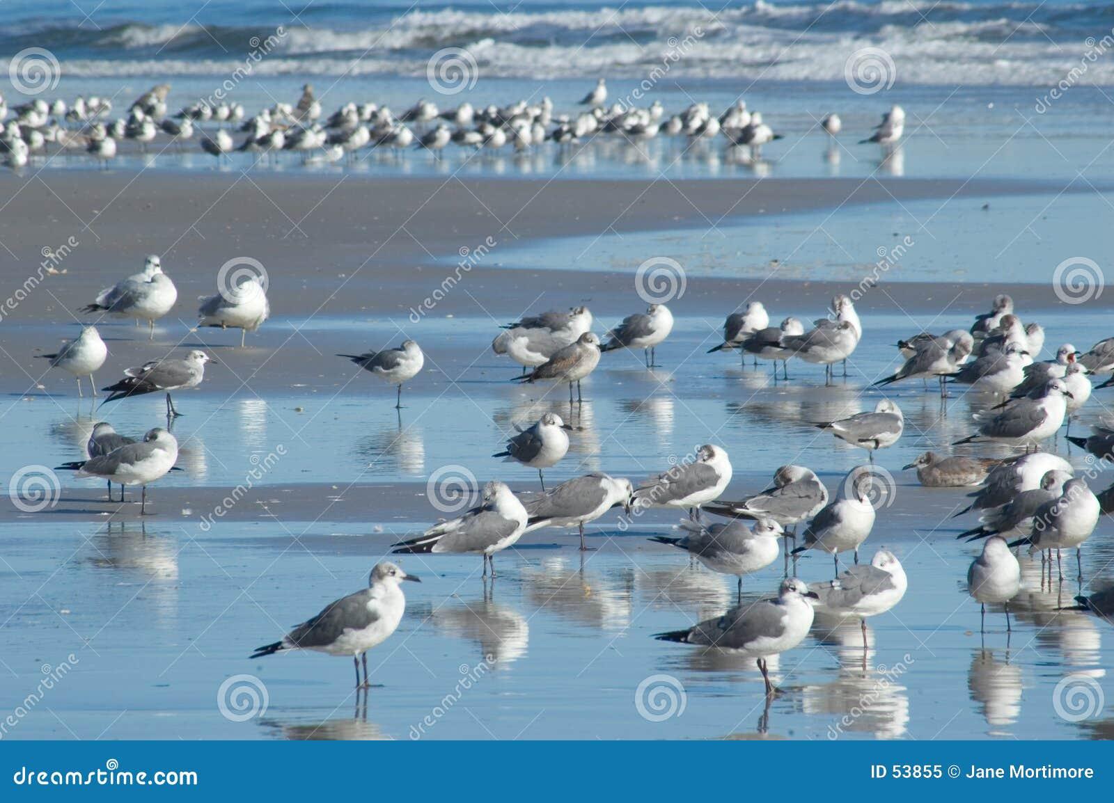 Wiele Seagulls
