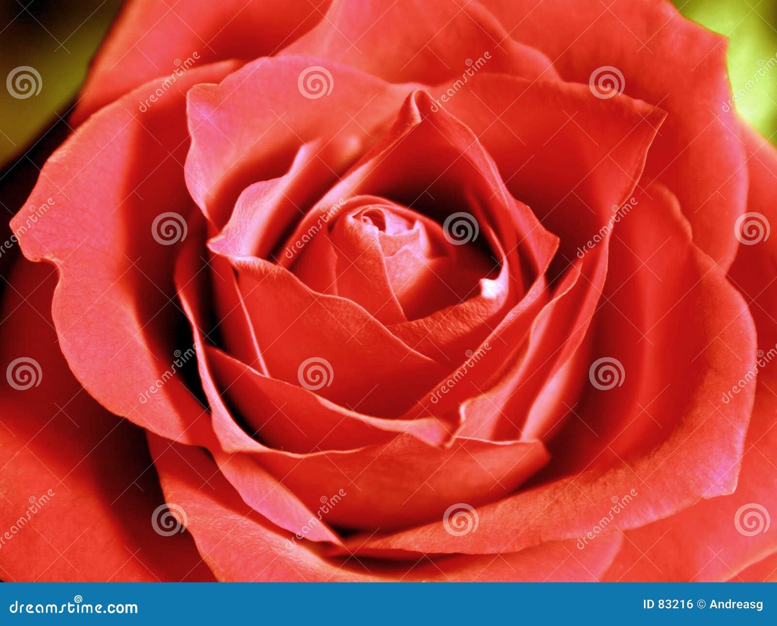 Wielka czerwona róża