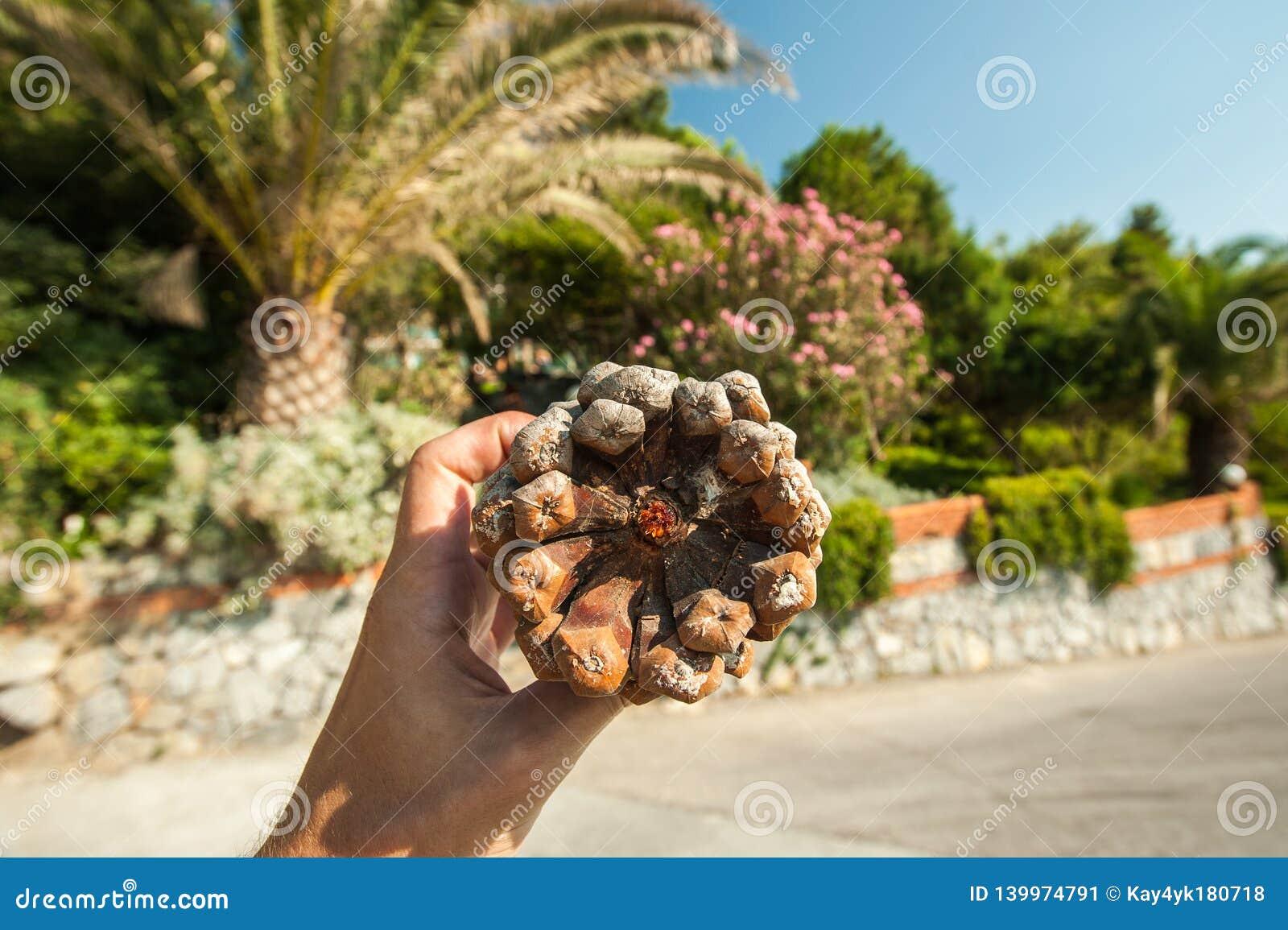 Wielka gomółka w ręce na tle drzewka palmowe i roślinność na słonecznym dniu na wakacje