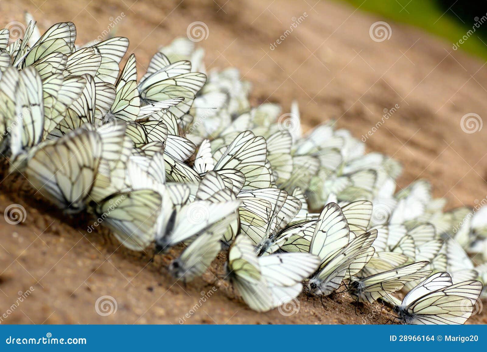 Wielka grupa motyle.