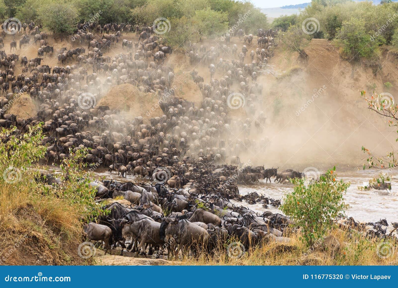 Wielka migracja w Afryka Ogromni stada herbivores kenya rzeka Mara