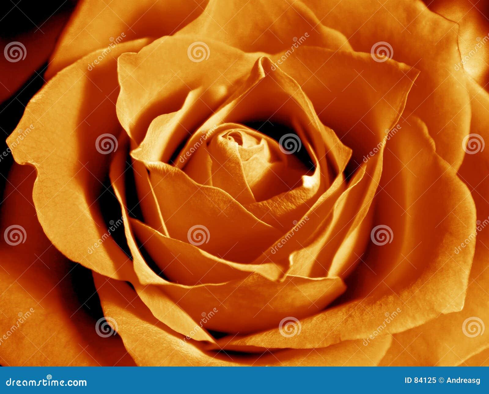 Wielka pomarańcza róża