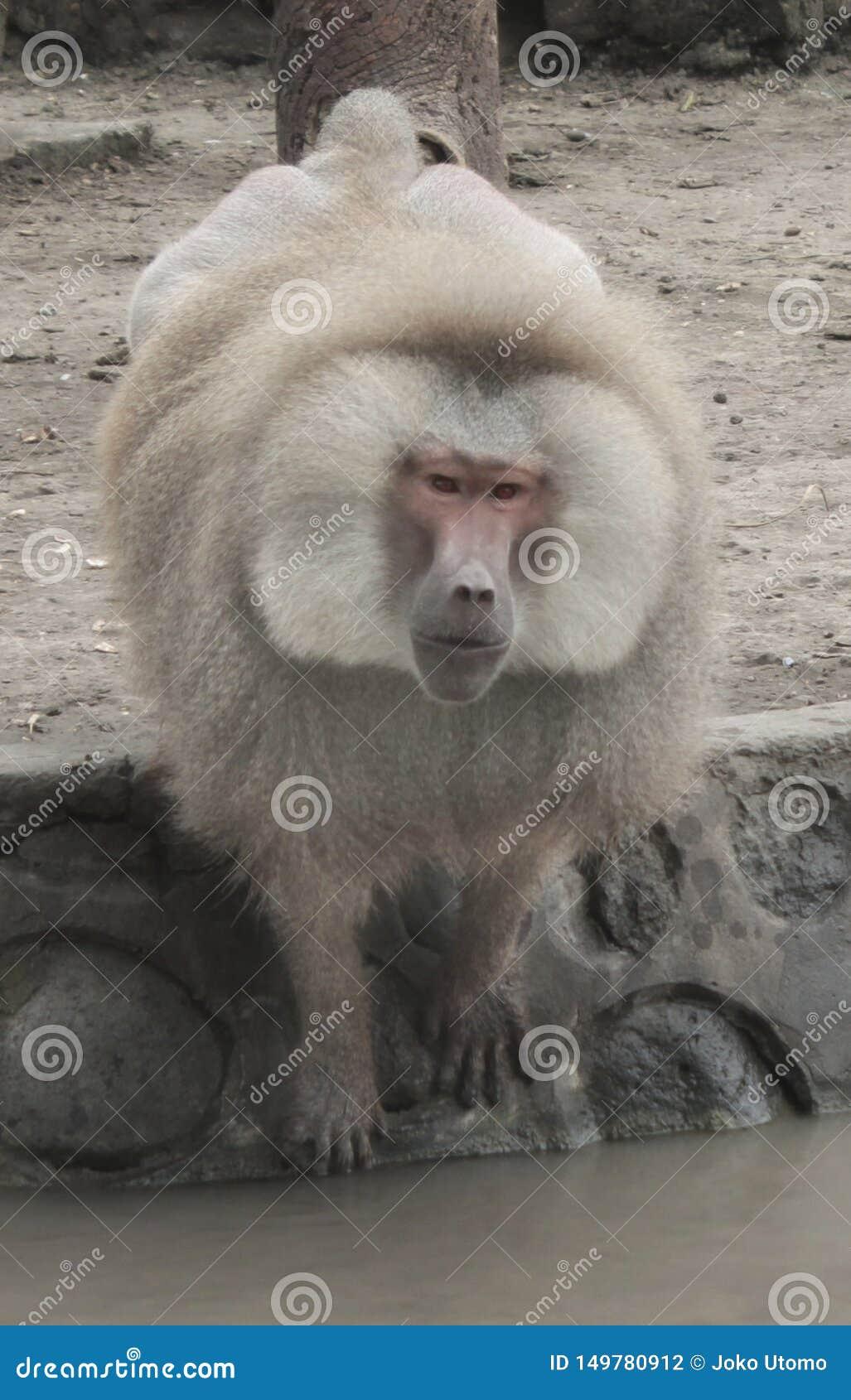 Wielka starego światu mieszkania małpa z długą doglike dyszą, wielkimi zębami i nagimi gruboskórność na pośladkach,