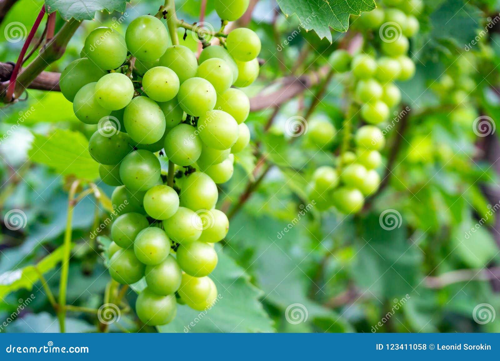 Wielka wiązka białego wina winogrona wiesza od winogradu z zielonymi liśćmi