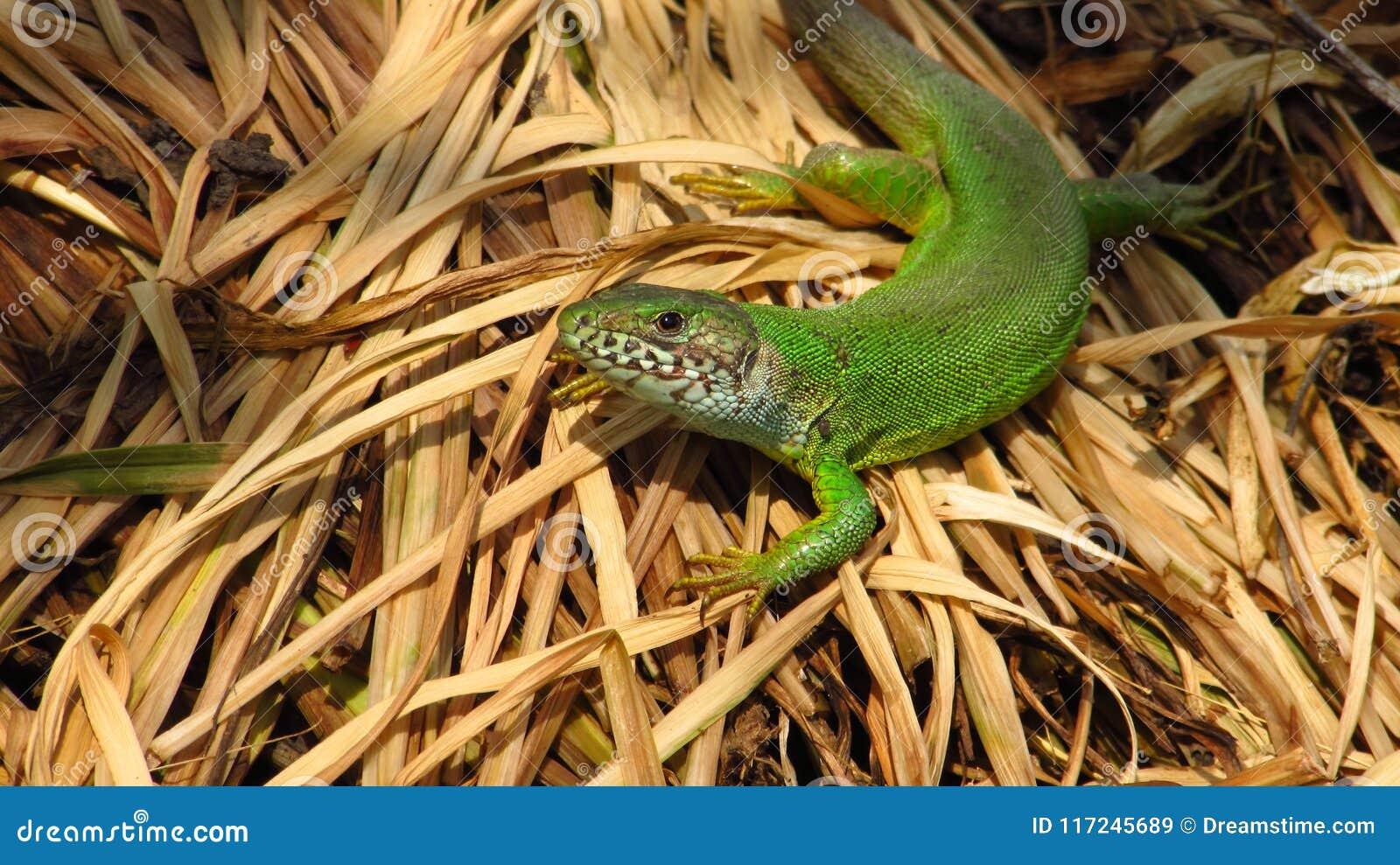 Wielka zielona jaszczurka, kobieta