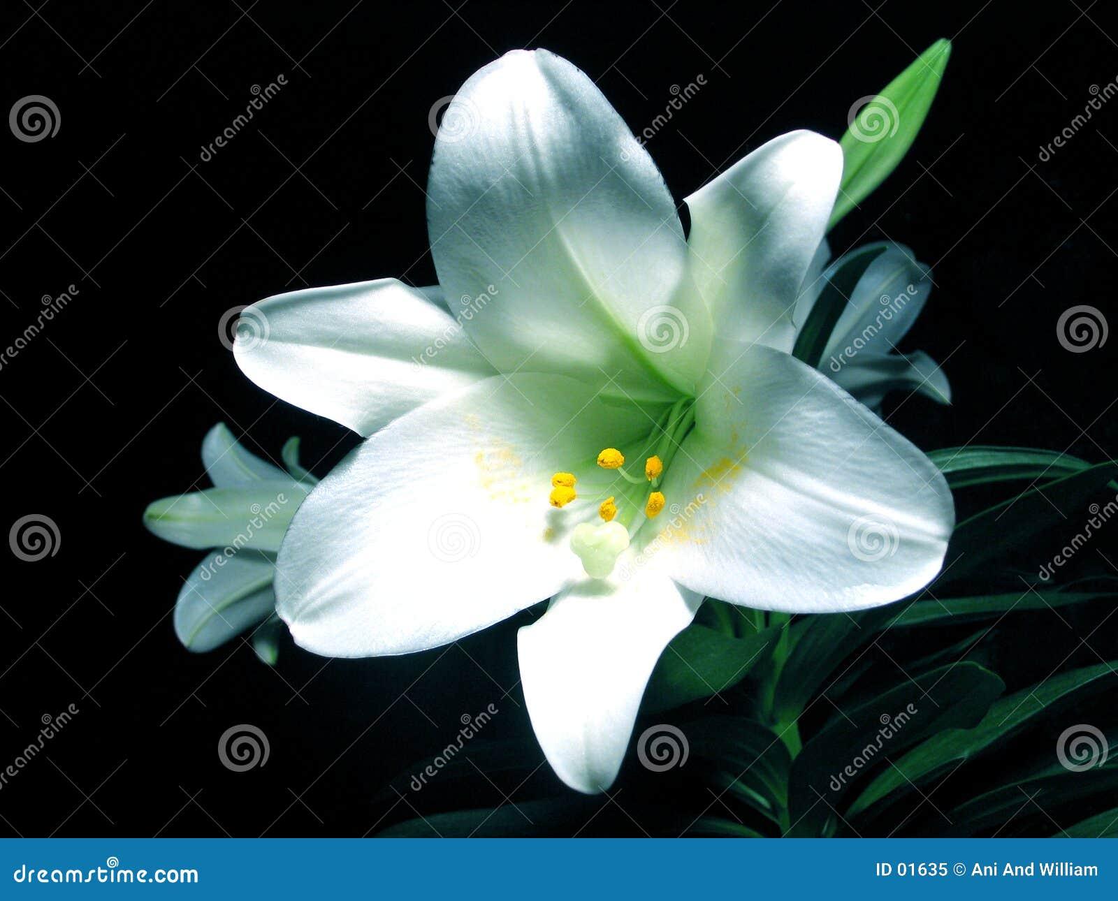 Wielkanoc lilly