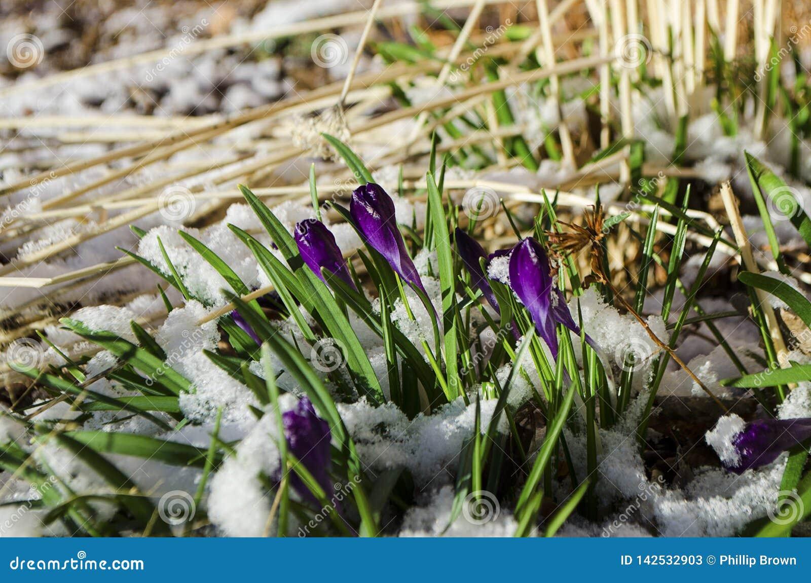 Wielkanocni tulipany Wyłania się Przez Świeżego wiosna śniegu