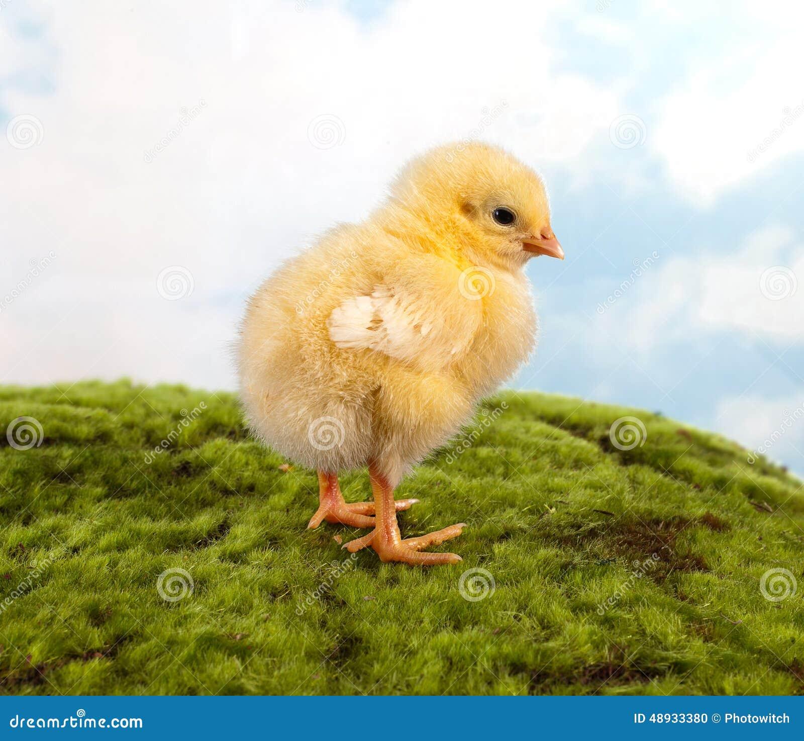 Wielkanocny kurczątko na spacerze