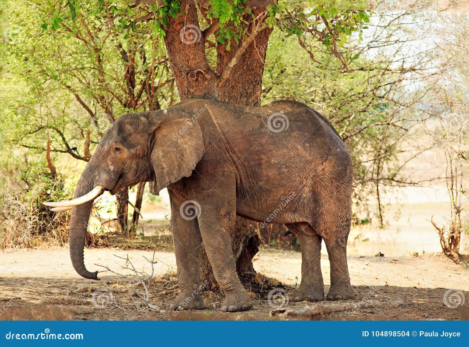 Wielki Afrykańskiego słonia podcieniowanie pod wielkim drzewem w Południowym Luangwa parku narodowym, zambiowie